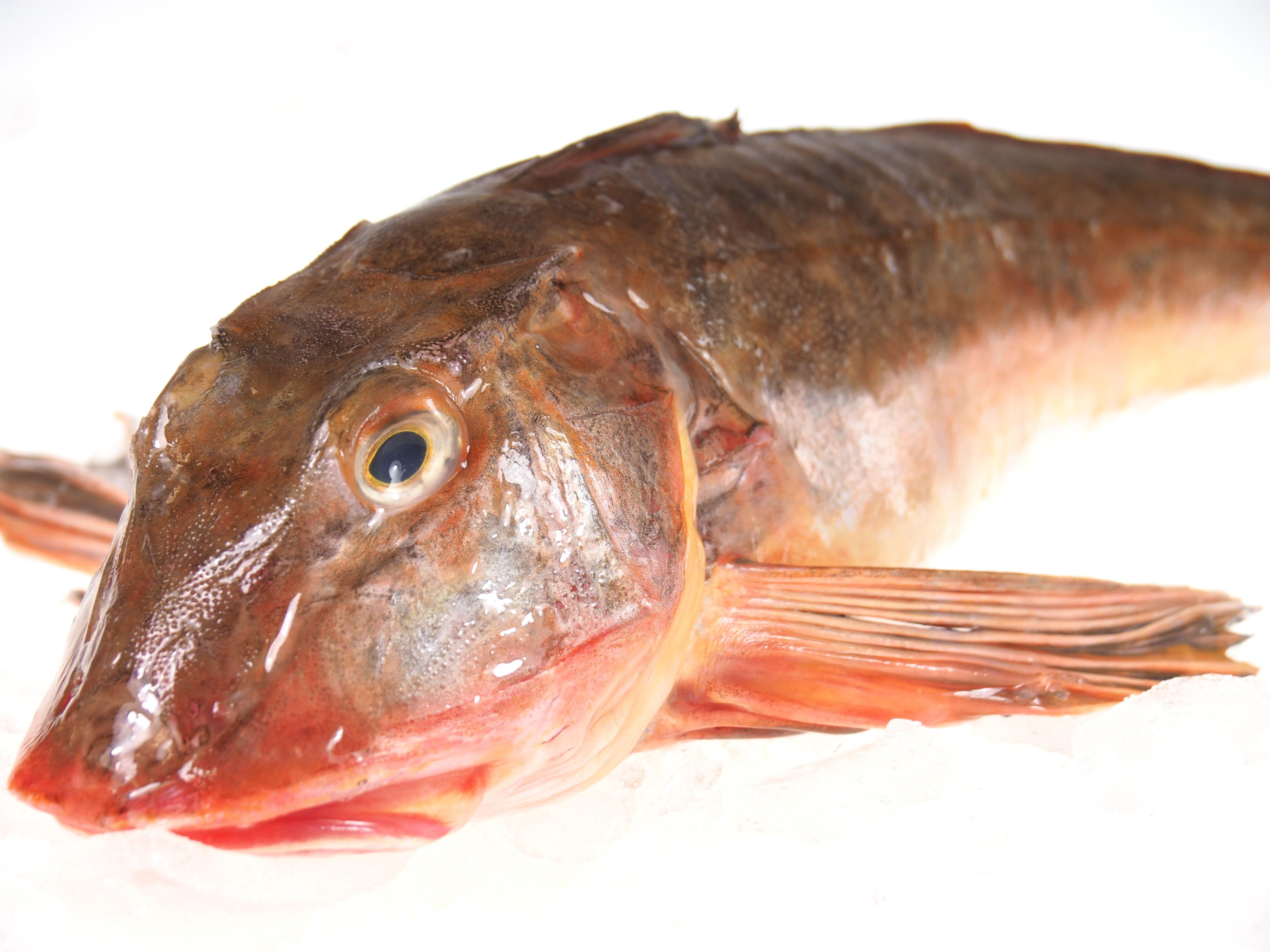 Knurrhahn Ganze Fische Fisch Lachskontor Frischfisch